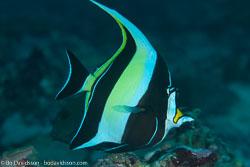 BD-130709-Maldives-9775-Zanclus-cornutus-(Linnaeus.-1758)-[Moorish-idol.-Hornfisk].jpg